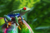 Red-Eyed Tree Frog — 图库照片