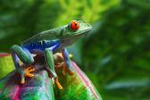 Rode-ogen boomkikker — Stockfoto