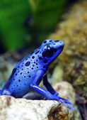 Blue Poison Dart Frog — Stock Photo