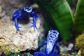 Blue Poison Dart Frogs — Stock Photo