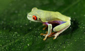 Baby Red-eyed Tree Frog — Stock Photo