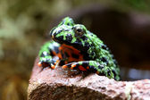 Fire-Bellied Toad — Stock Photo