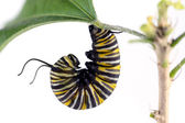Monarch caterpillar — Stockfoto