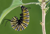 Monarch Caterpillar — Stock Photo