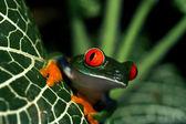 Red-eyed tree frog — ストック写真
