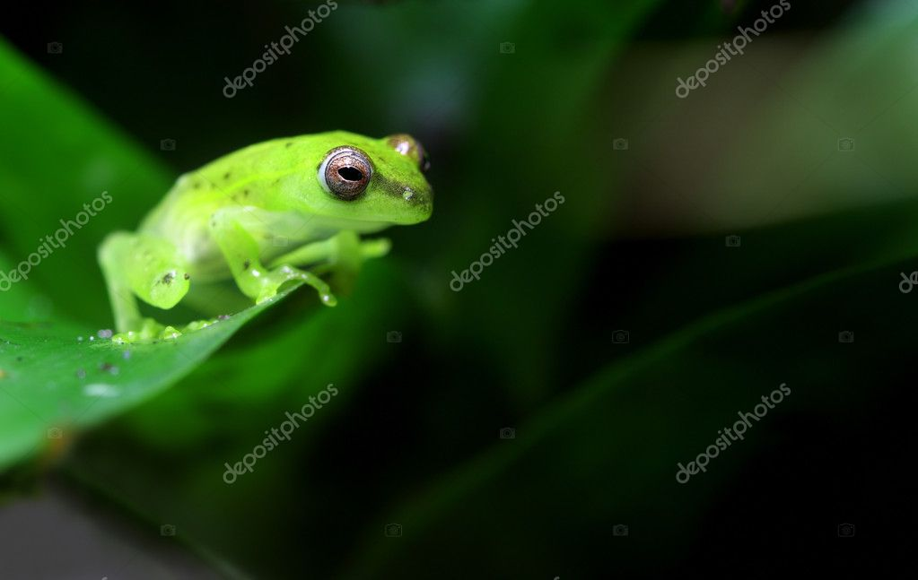 A tiny spotted glass frog (Hyla punctata) sits on a vine in a tropical climate.  — Stock Photo #6303982