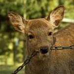 Deer biting on chain — Stock Photo