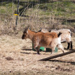 ������, ������: Goats in the pen