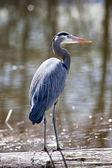 Great blue heron. — Stock Photo