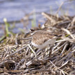Stock Photo: Killdeer blends in with background.