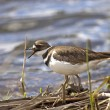Killdeer by the water. - Stock Photo