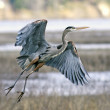 Heron takes flight. -  