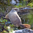 Marmot among rocks and plants. - ストック写真