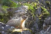 Small marmot on a rock. — Stock Photo
