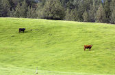 Cows grazing. — Stock Photo