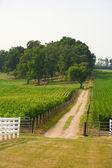 Dirt road through a corn field. — Stockfoto