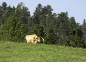Longhorn 走在牧场. — 图库照片