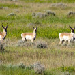 Stock Photo: Herd of pronghorn.