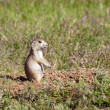 Alert prairie dog. — Stock Photo