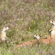 Stock Photo: Three prairie dogs communicate.