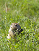 Prairie dog eating grass. — Stock Photo