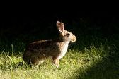 Rabbit in natures spotlight. — Foto Stock