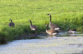 Group of geese leaving pond. — Stock Photo