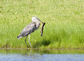Heron makes a big catch. — Stock Photo