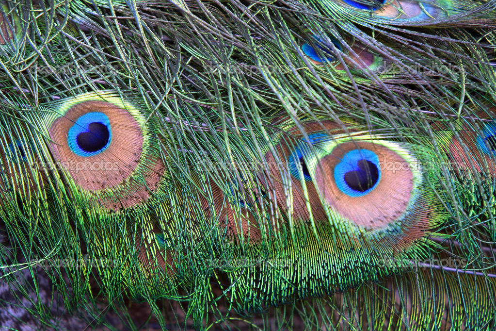 Peacock Feather With Two Eyes Close up of Peacock Feathers Form Two Eyes Photo by Gjohnstonphoto