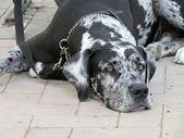 Huge mastiff lying on the floor — Stock Photo
