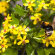 A bumble bee collecting pollen — Stockfoto