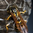 Wasp tending to its nest — Stock Photo #5537641