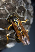 Wasp tending to its nest — Stock Photo