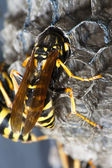 Wasp in nest — Stock Photo