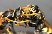 Foghting 黄蜂 — 图库照片