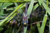 蜻蜓 — 图库照片