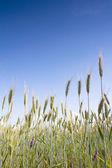 Wheat field in summer — Stock Photo