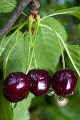 Black Cherries — Stock Photo