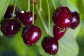 Černé třešně — Stock fotografie