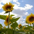 Sunflowers on a sunny day — Stock Photo