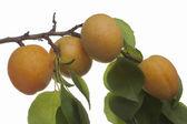Ripening apricots — Stock Photo