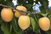 Rijping van abrikozen — Stockfoto