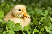 Baby duckling in clover — Stock Photo
