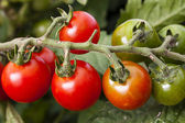 Ripening vine tomato — Stock Photo