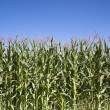 Wall of Maize — Stock Photo