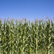 Stock Photo: Wall of Maize