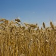Golden Grains of wheat against a blue sky — Stock Photo #6111971