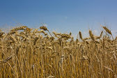 Golden Grains of wheat against a blue sky — Stock Photo