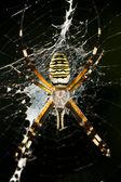 Wasp-spin — Stockfoto