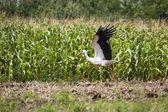 Stork taking off — Stock Photo